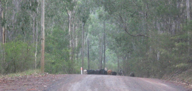 A mob of cattle being mustered, coming over a crest in Wollombi Road and heading for the bottom yards. photo mrbbaskerville 20 January 2017